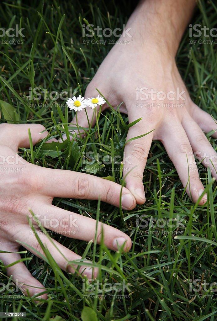 Small daisies royalty-free stock photo