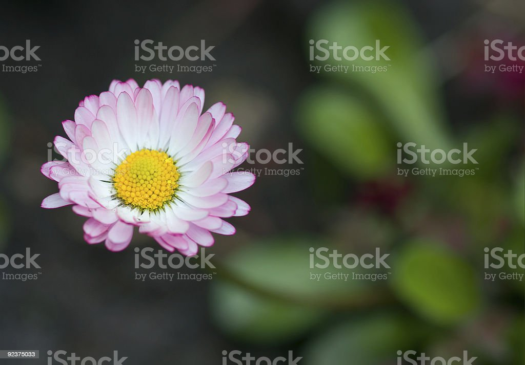 Small daisy. Soft focus, copy space royalty-free stock photo