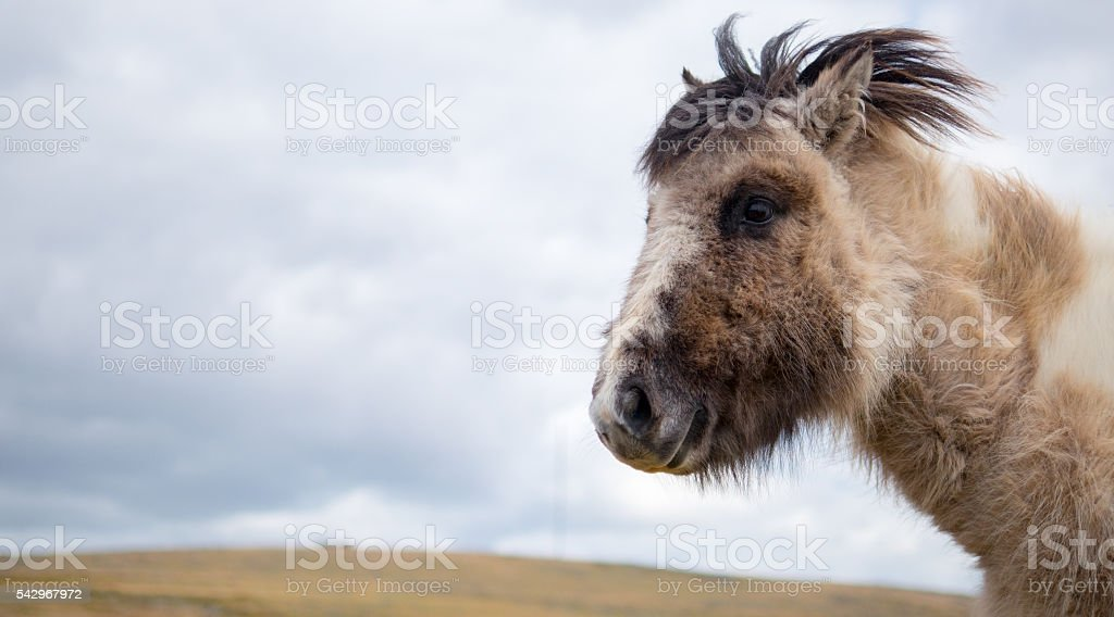 small Dartmoor pony stock photo