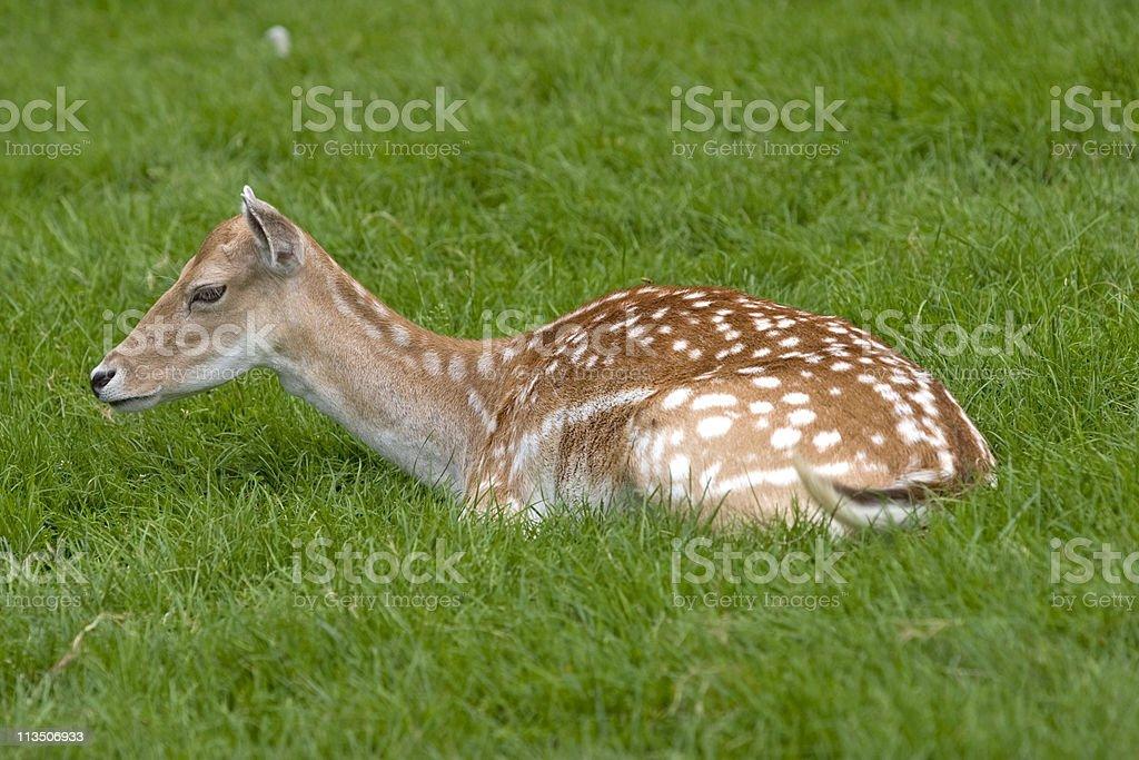 Small deer stock photo