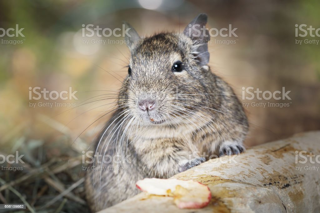 Small degu in the forest stock photo