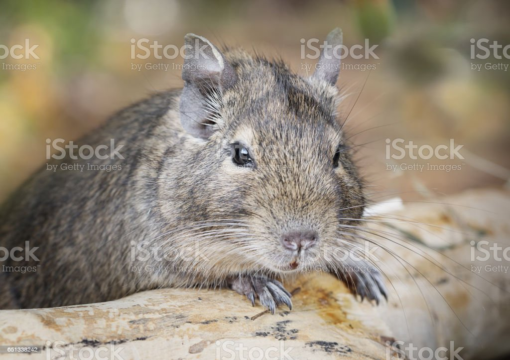Small degu in the woods stock photo