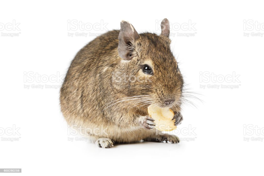 Small Degu isolated on a white background stock photo