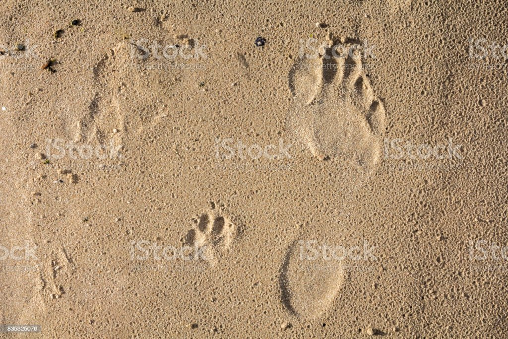 small dog and humans feet prints on a wet sand stock photo