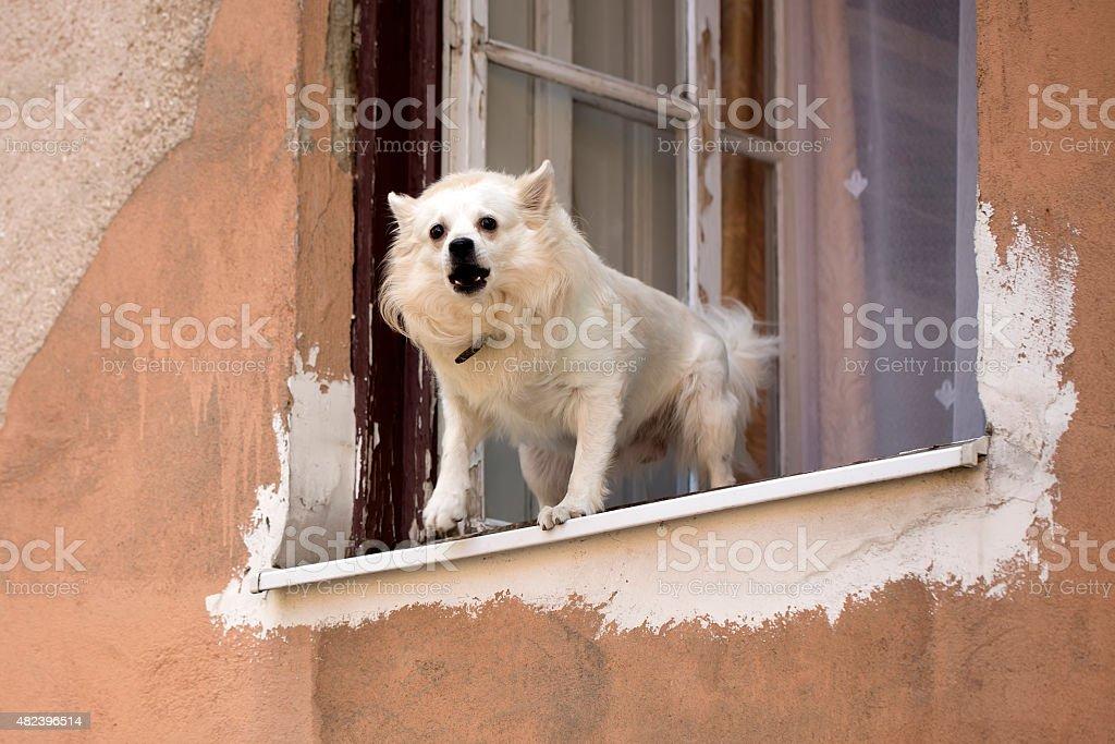 Small dog barking in window stock photo