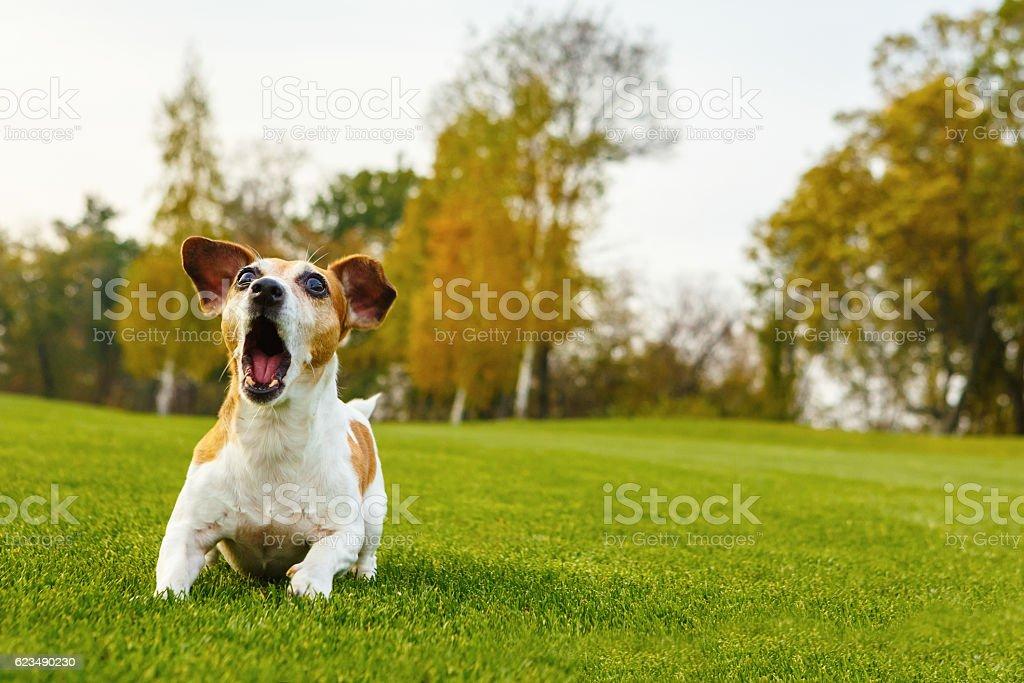 Small dog barking stock photo