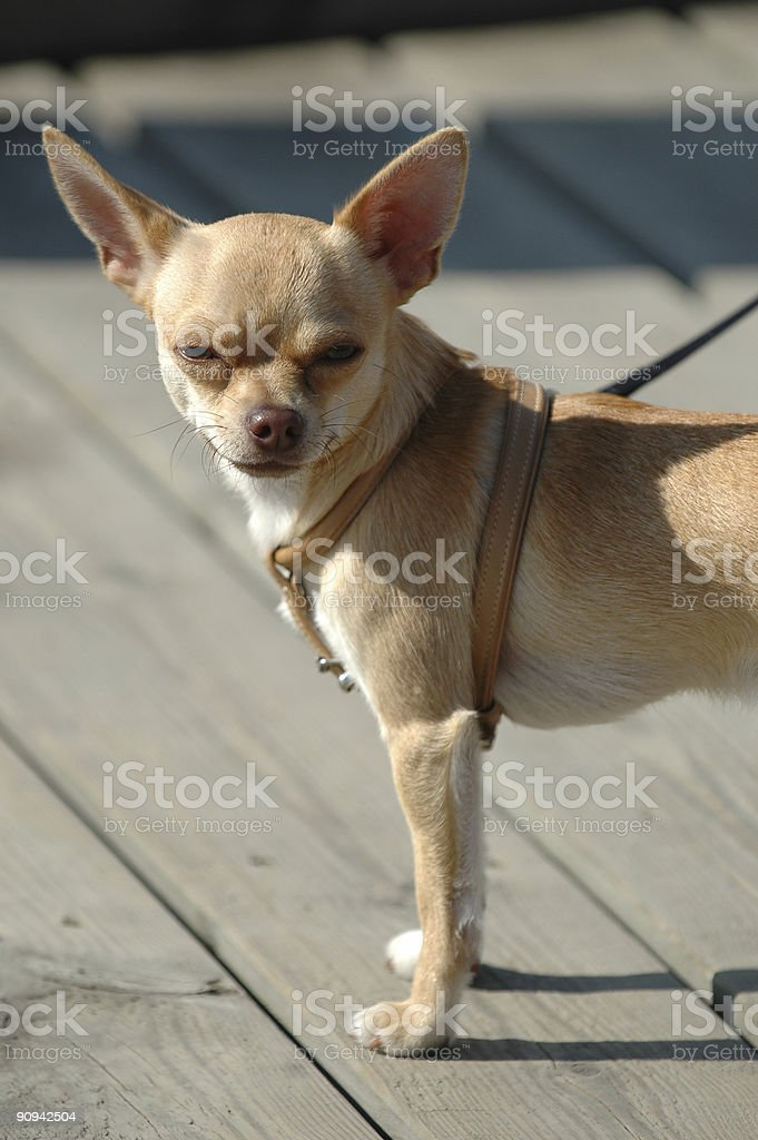 Small dog, big ears royalty-free stock photo