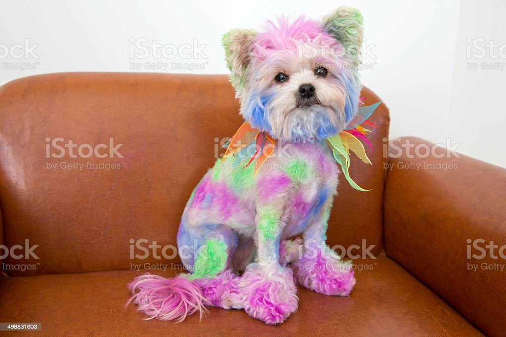 Small dog colored with multi-colored hairspray stock photo