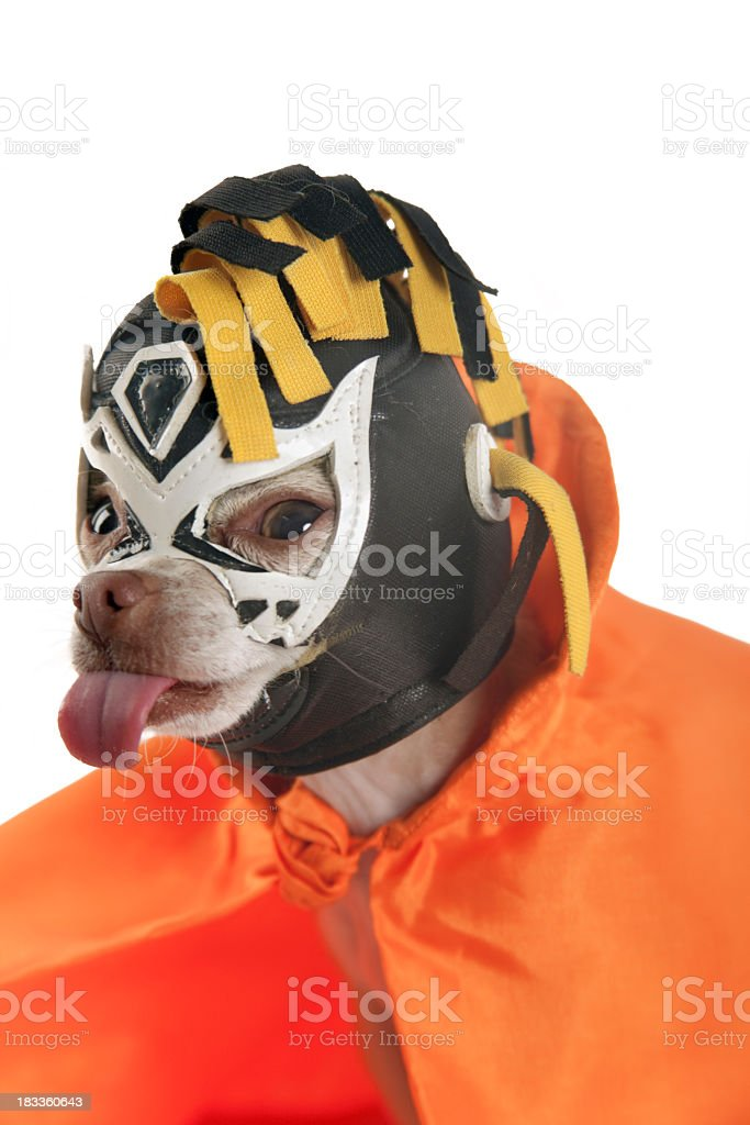 A small dog dressed in a lucha libre costume with tongue out stock photo