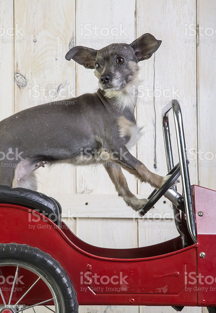 Small dog driving a little car stock photo