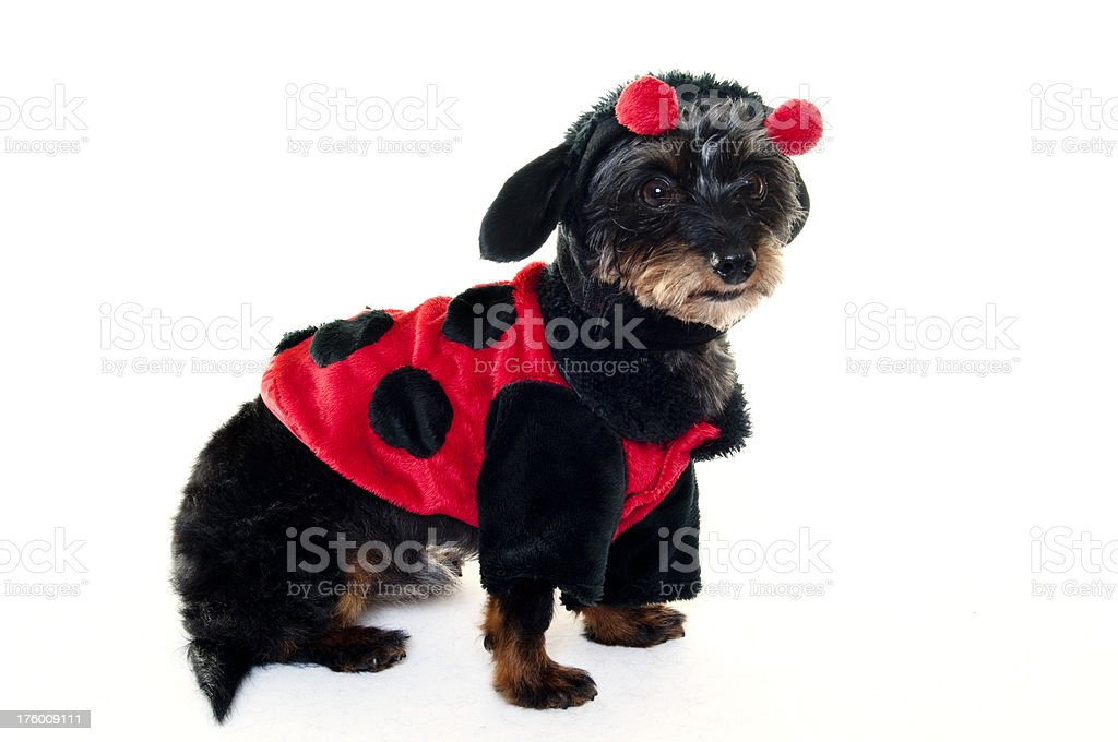 small dog in a costume stock photo