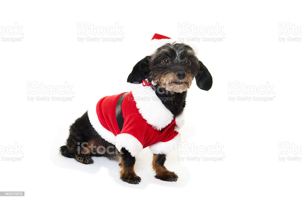 Small Dog in a Santa Suit royalty-free stock photo