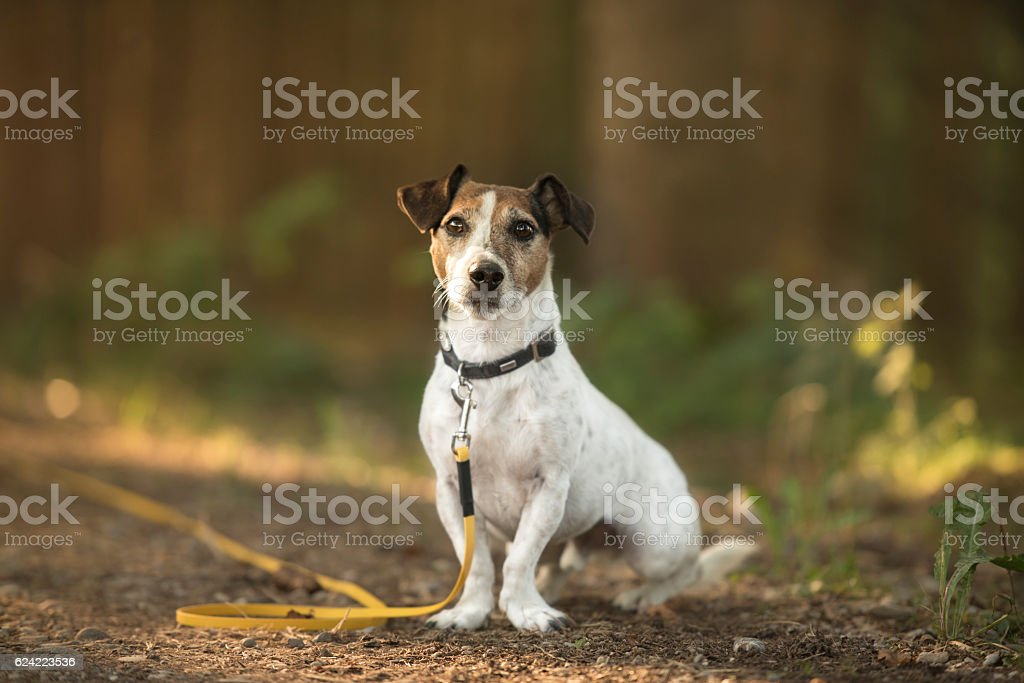 small dog in the forrest on the long leash trailing stock photo
