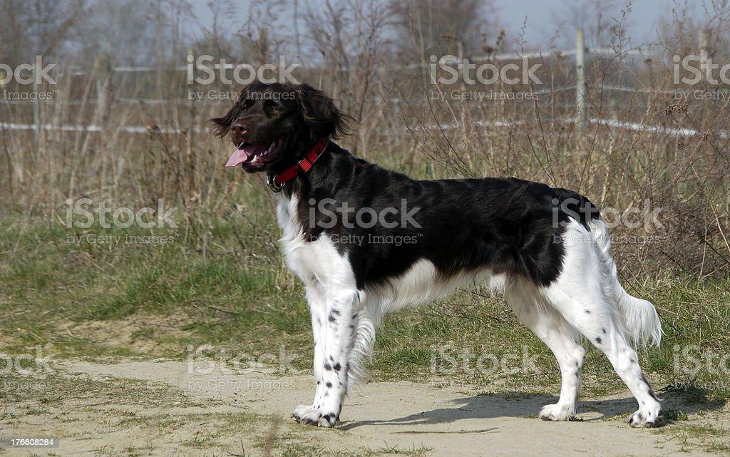 Small dog Kleiner Münsterländer stock photo