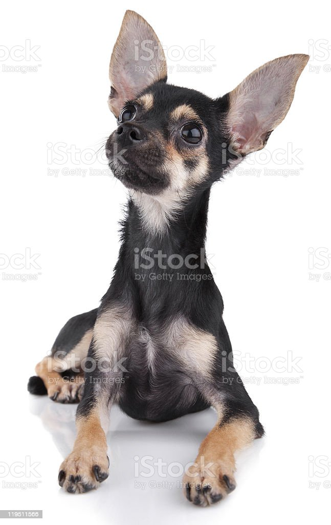 small dog look upwards  on white royalty-free stock photo