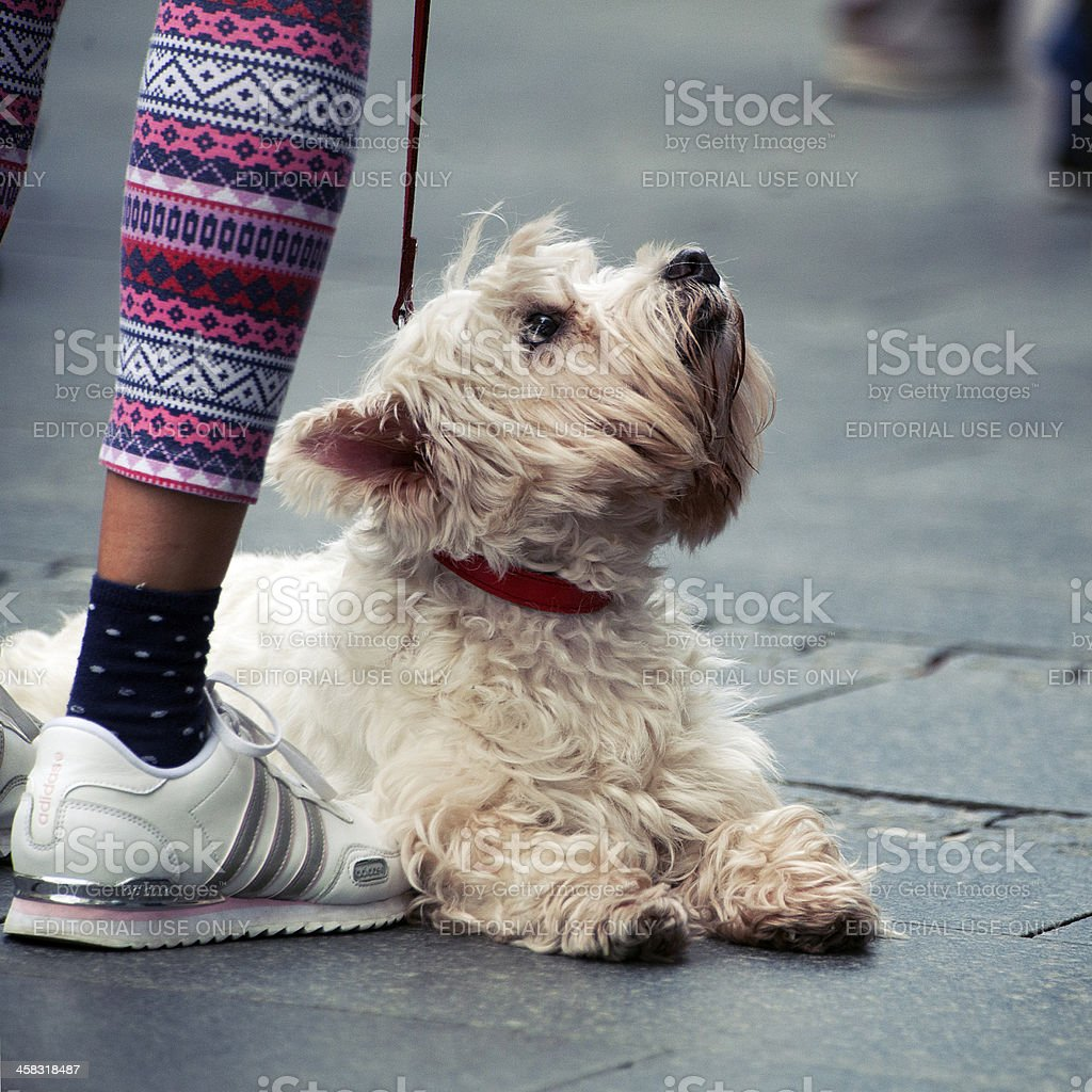 Small Dog looking up royalty-free stock photo