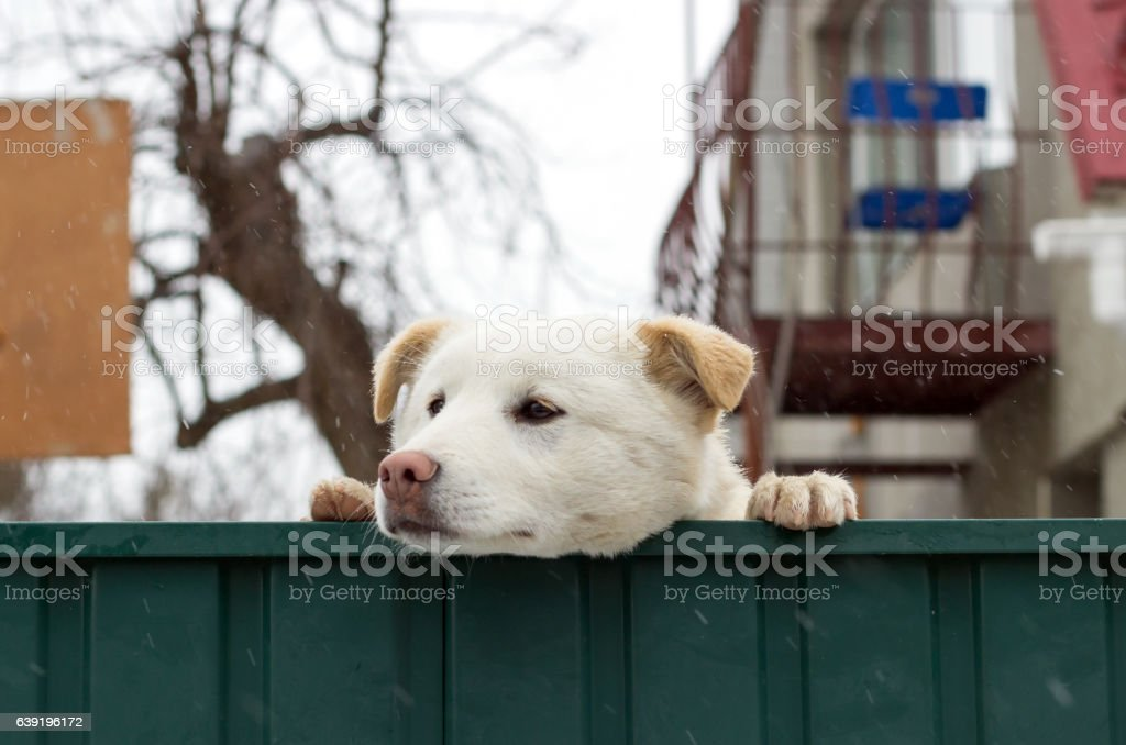 small dog of a chihuahua protects the house stock photo