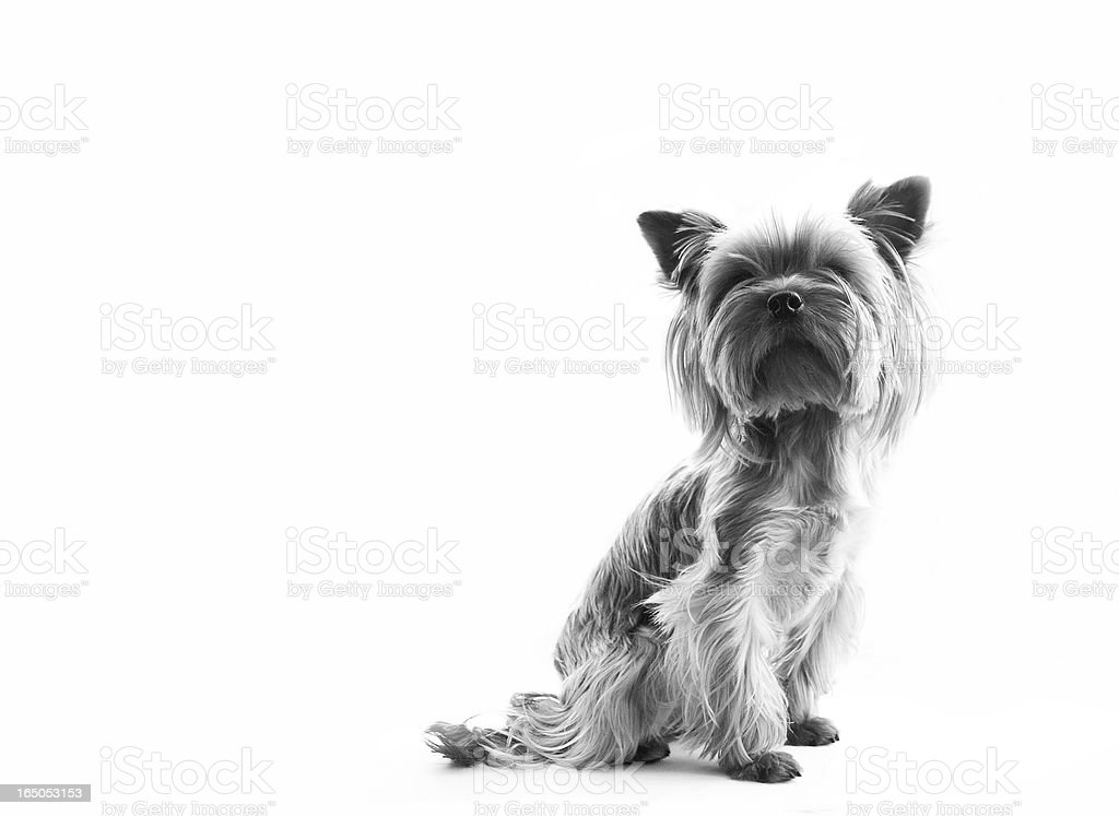 small dog on white background stock photo