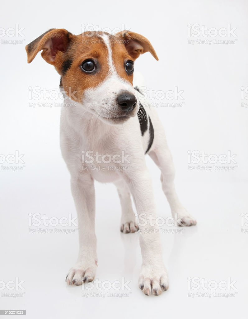 Small dog on white - russell terrier stock photo