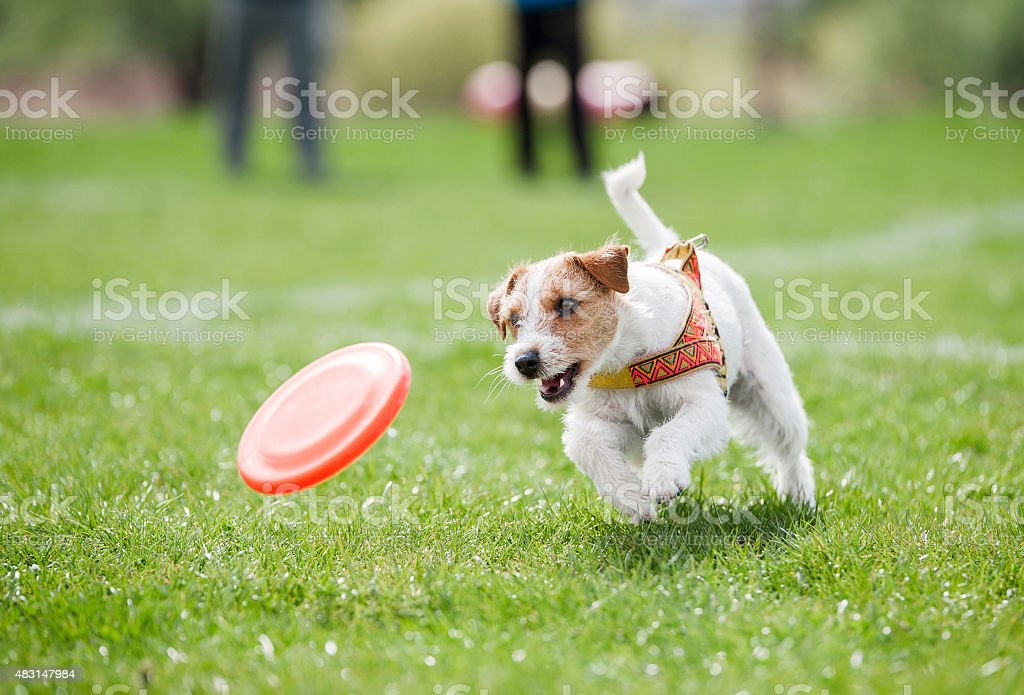 small dog playing with disk stock photo