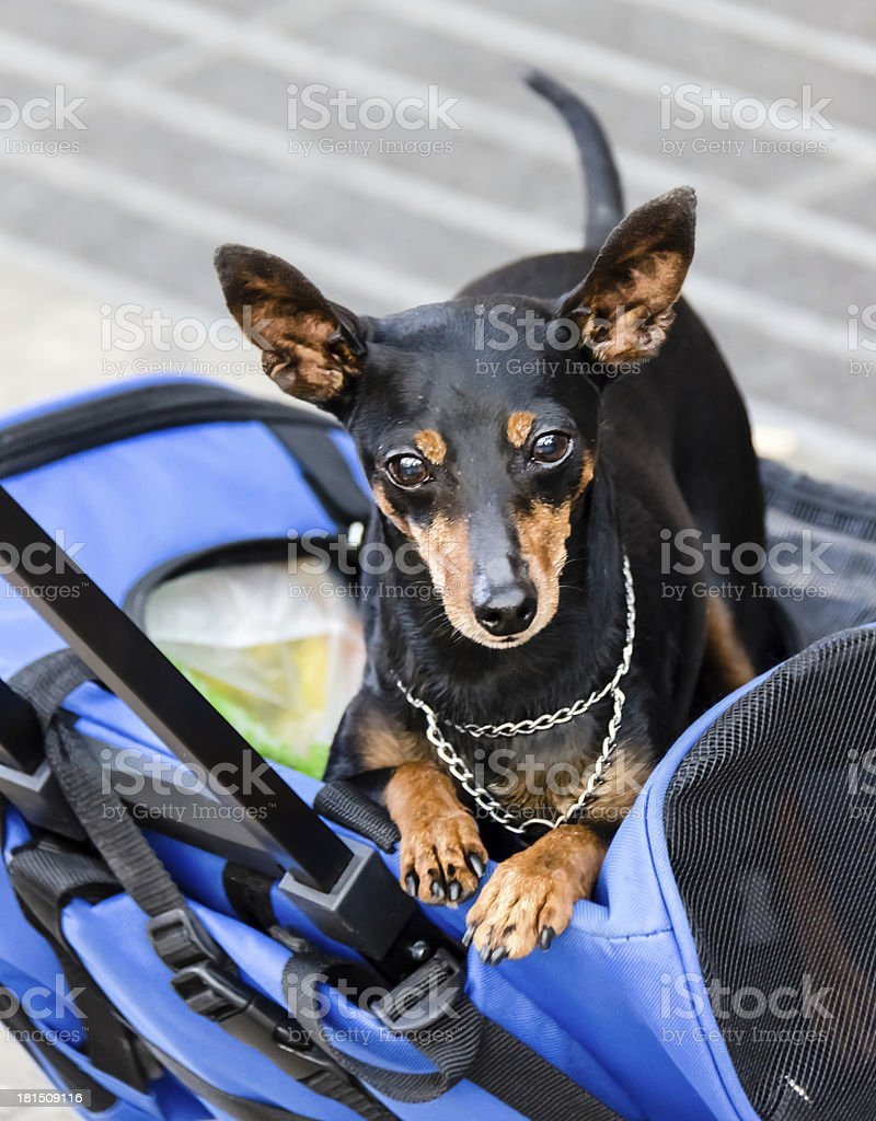 Small dog relaxing royalty-free stock photo