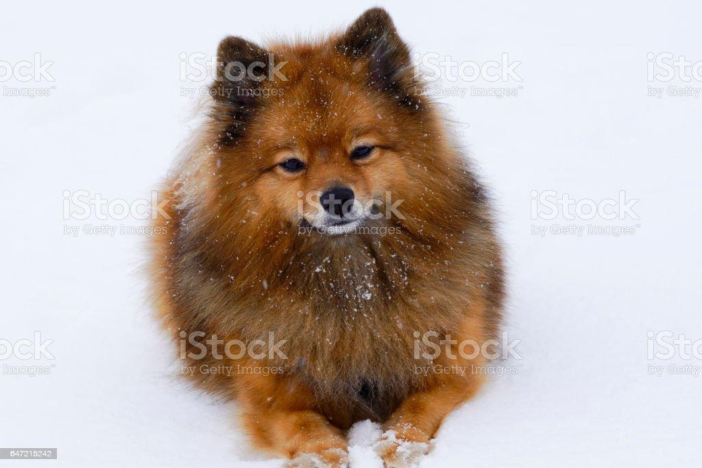 small dog sitting on white snow breed German Spitz, closeup stock photo