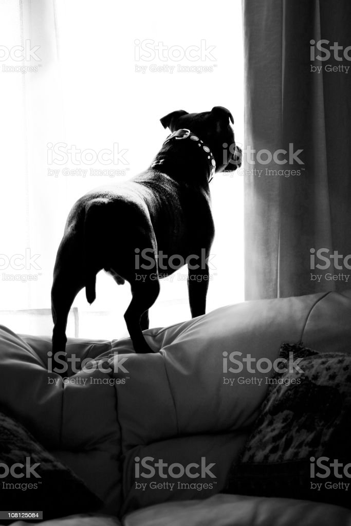 Small Dog Standing on Top of Couch Looking Out Window royalty-free stock photo