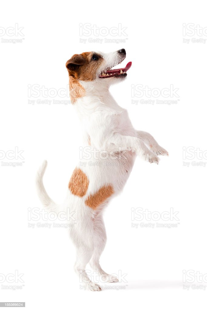 Small dog standing on two feet with white background stock photo