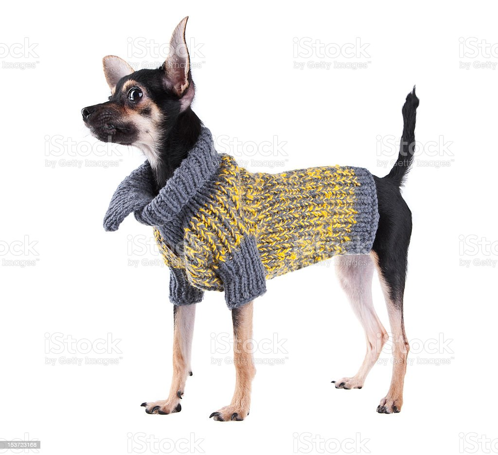 Small dog toy terrier in clothes royalty-free stock photo
