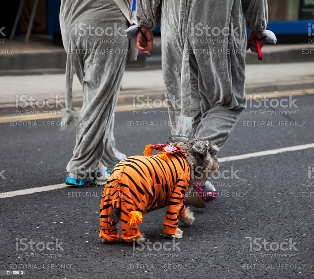 Small dog wearing a tiger costume stock photo