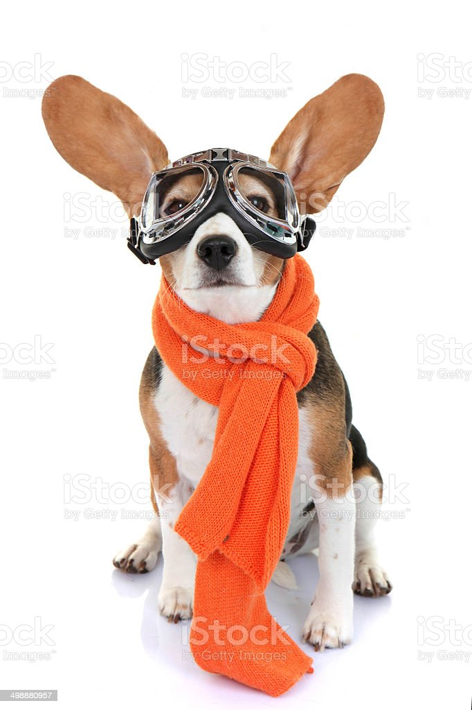 Small dog wears aviator goggles and orange scarf stock photo