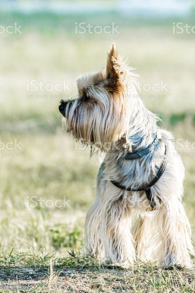 A small dog yorkshire terrier on meadow at summer day stock photo
