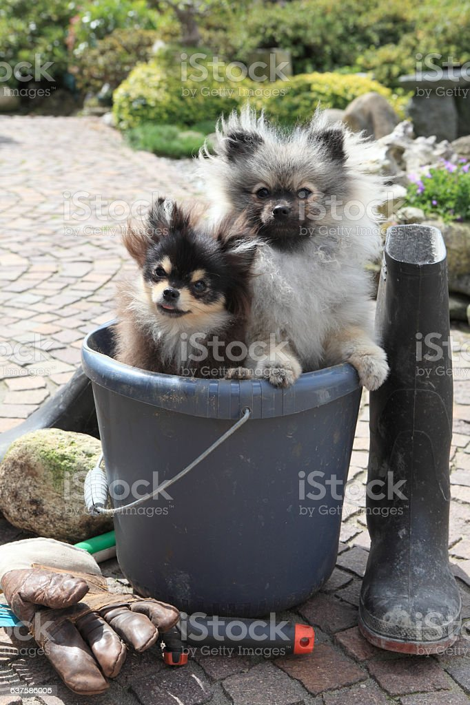 Small dogs in bucket stock photo