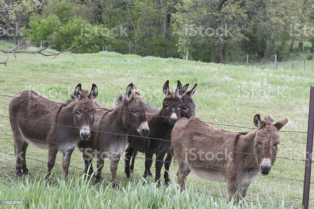 Small donkey herd  in pasture. royalty-free stock photo