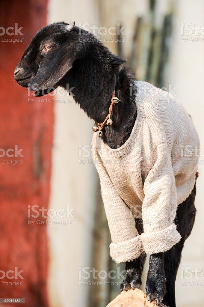 Small dressed goat portrait in Varanasi, India stock photo