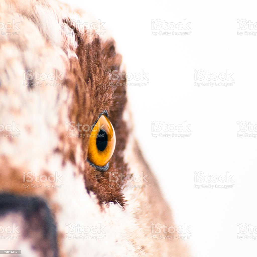 Small duck eye, close-up, white background stock photo