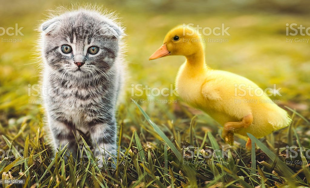Small duckling playing with little cat on green grass outdoors stock photo
