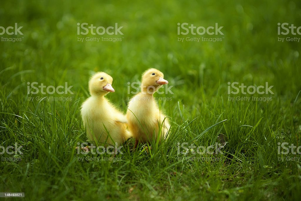 Small ducklings outdoor on green grass royalty-free stock photo