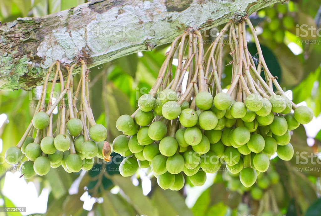 Small Durian Fruit Bunch on Tree. stock photo