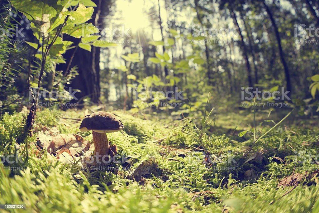 Small edible mushroom in the woods alone stock photo