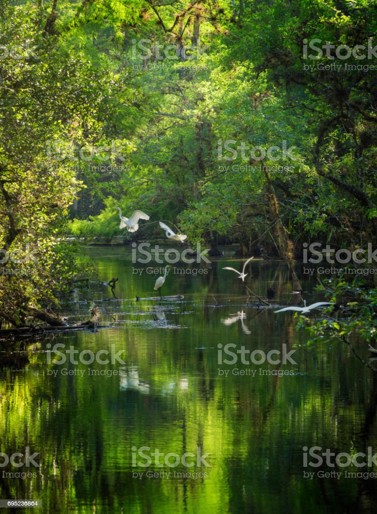 Small egret flock landing on Everglades Big Cypress swamp river stock photo