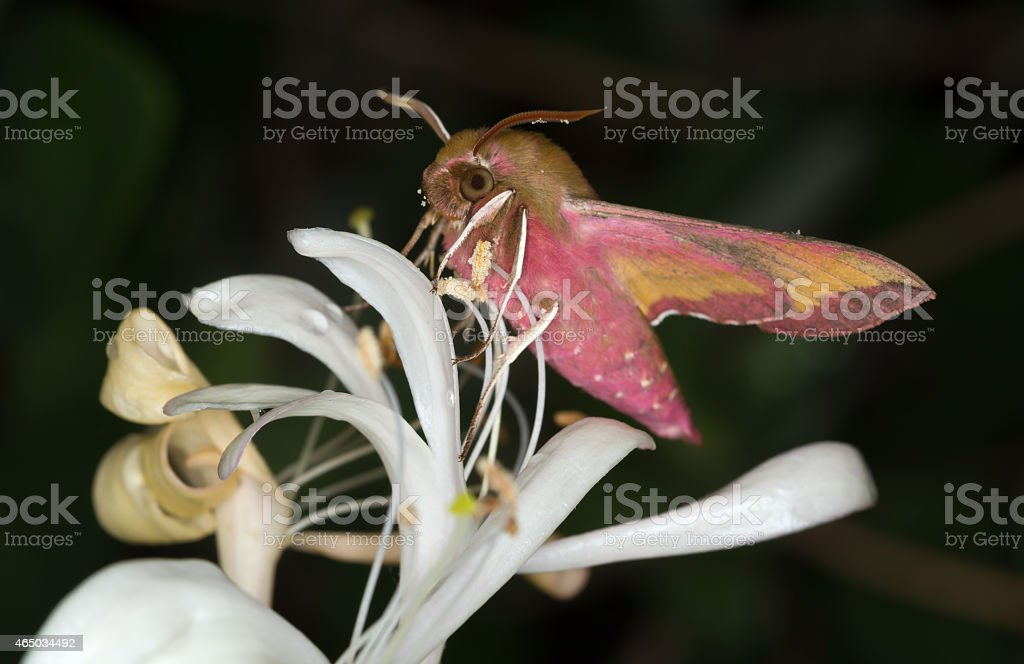 Small Elephant Hawk-moth, Deilephila porcellus stock photo