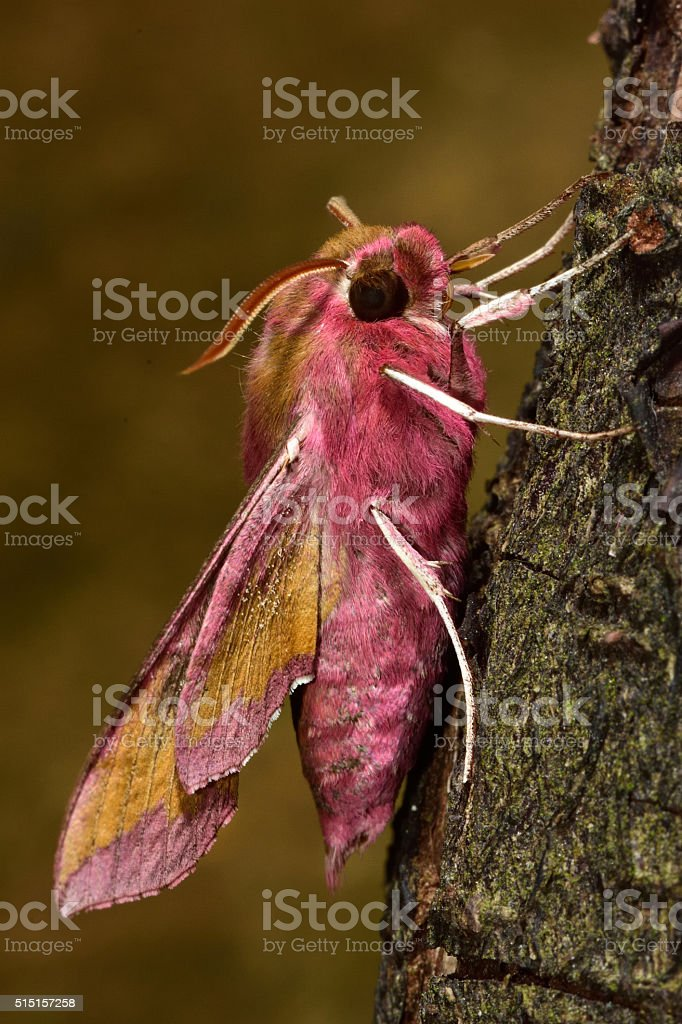 Small elephant hawk-moth (Deilephila porcellus) in profile stock photo