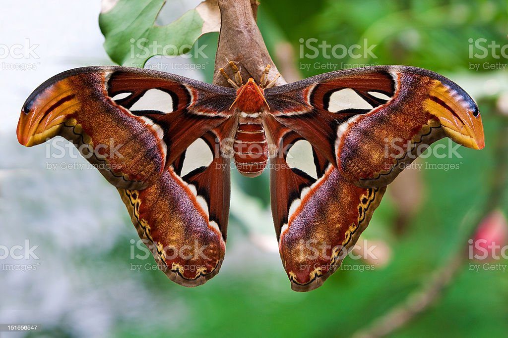Small emperor moth (butterfly) stock photo