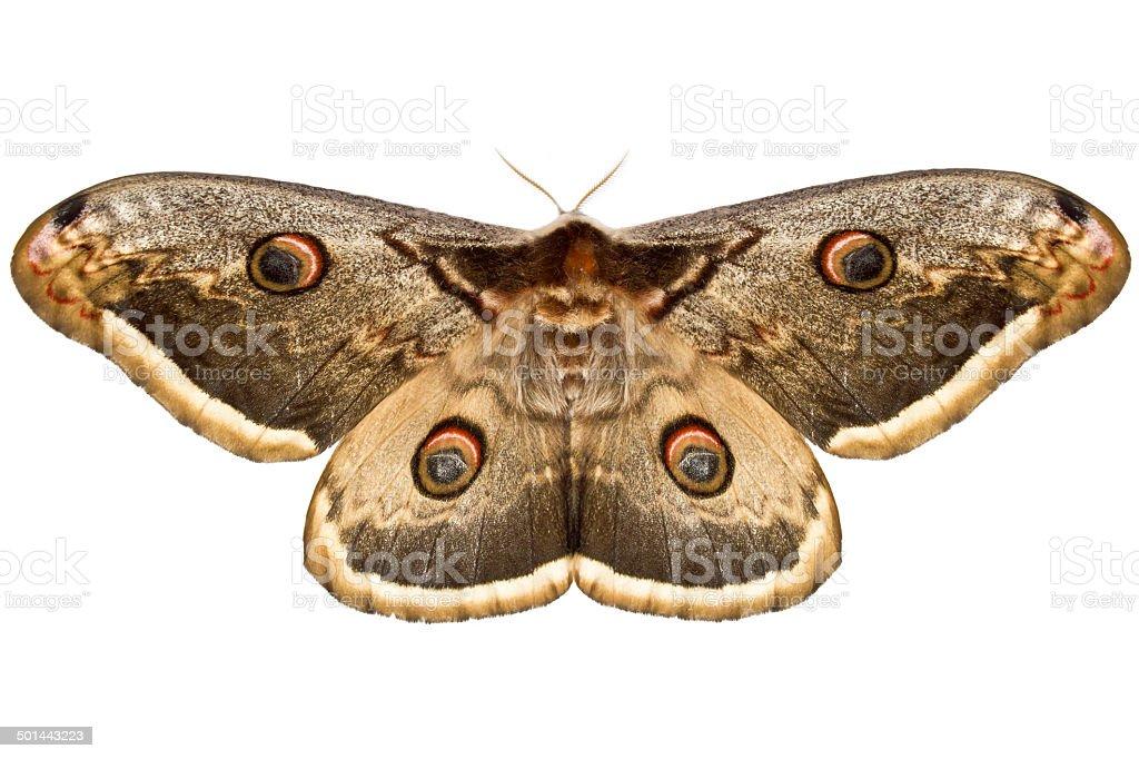 Small emperor moth stock photo