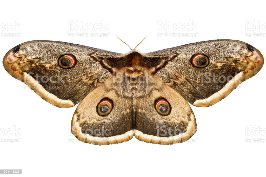 Small emperor moth stock photo