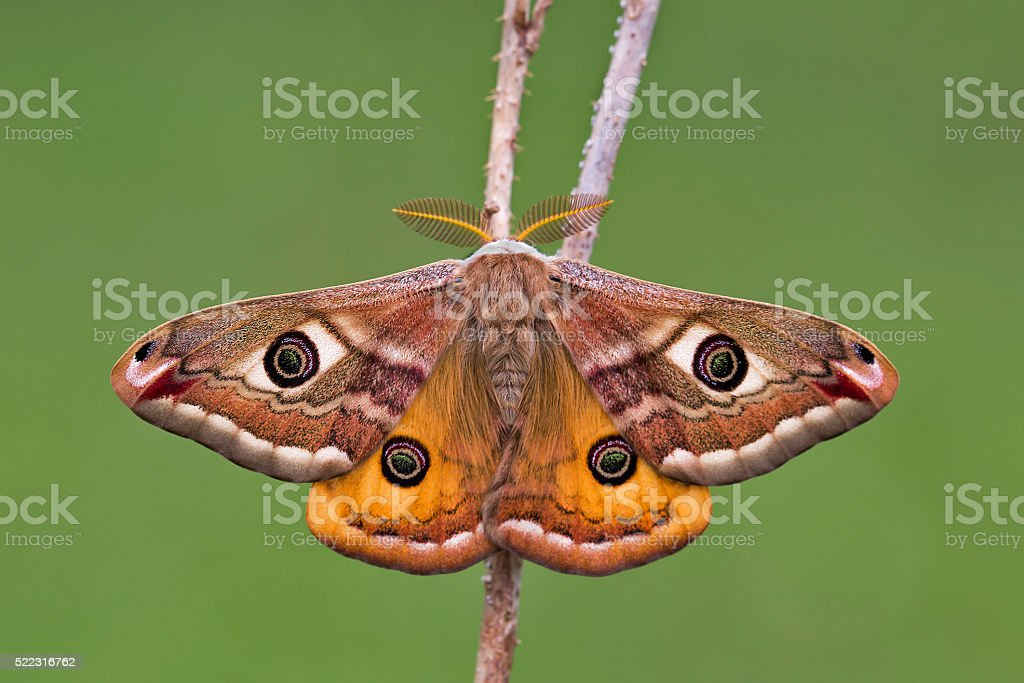Small Emperor Moth (Saturnia pavonia) stock photo