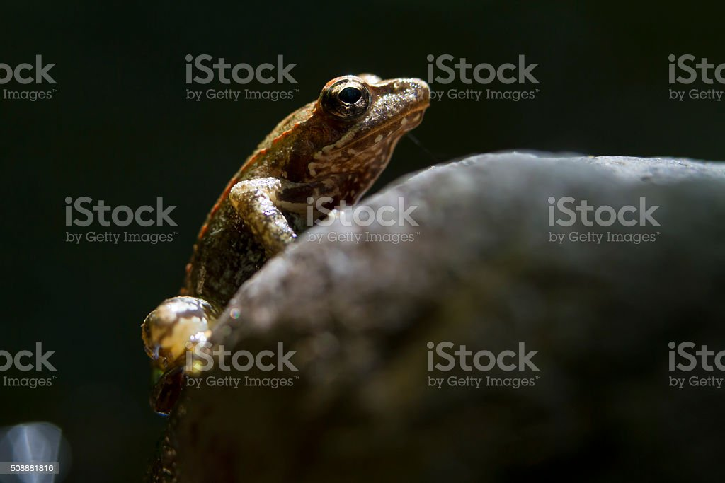Small European frog on a black backround stock photo