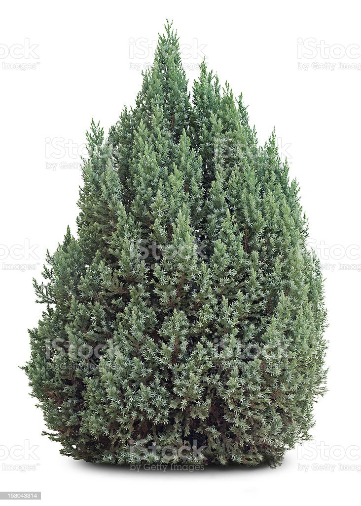 small evergreen tree on white stock photo