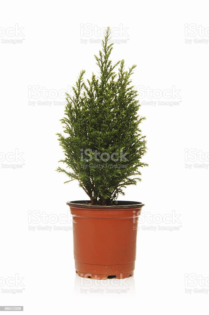 Small evergreen tree royalty-free stock photo